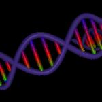 バストの大きさ 遺伝